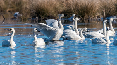 Tundra Swan Standing Up, Back Flap