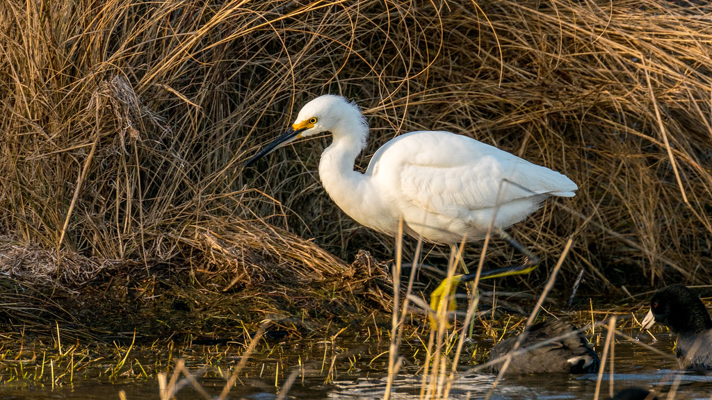 Snow Egret Stirring Marsh