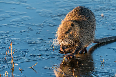Muskrat Breakfast, At Last