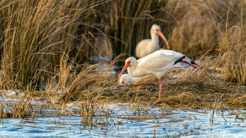 White Ibis Stretching