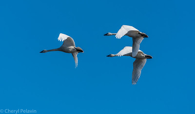 Three Tundra Swans in Flight