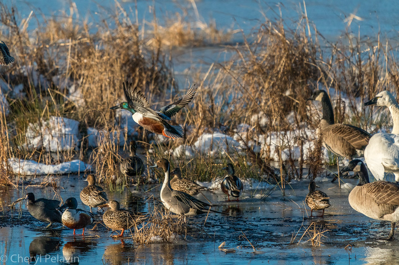 Northern Shovelers Take Off