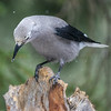 Clark's Nutcracker & Snow