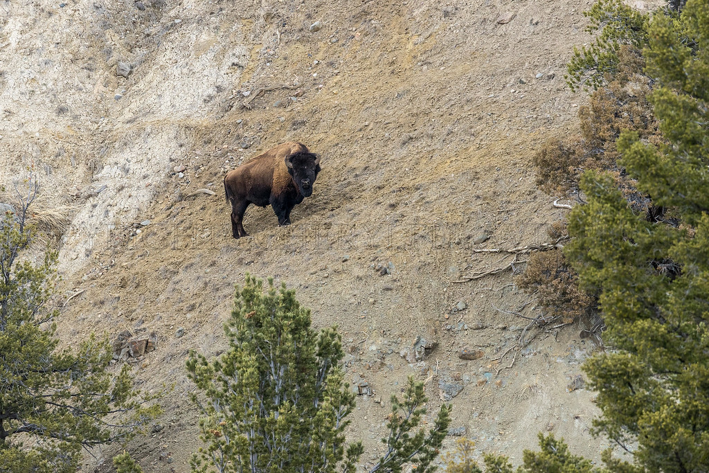 Lone Bison Bull