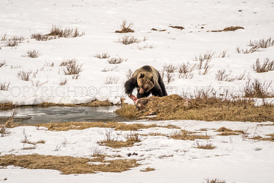 Grizzly Snack