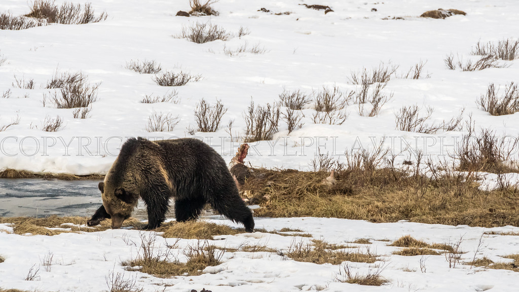 First Grizzly of Spring
