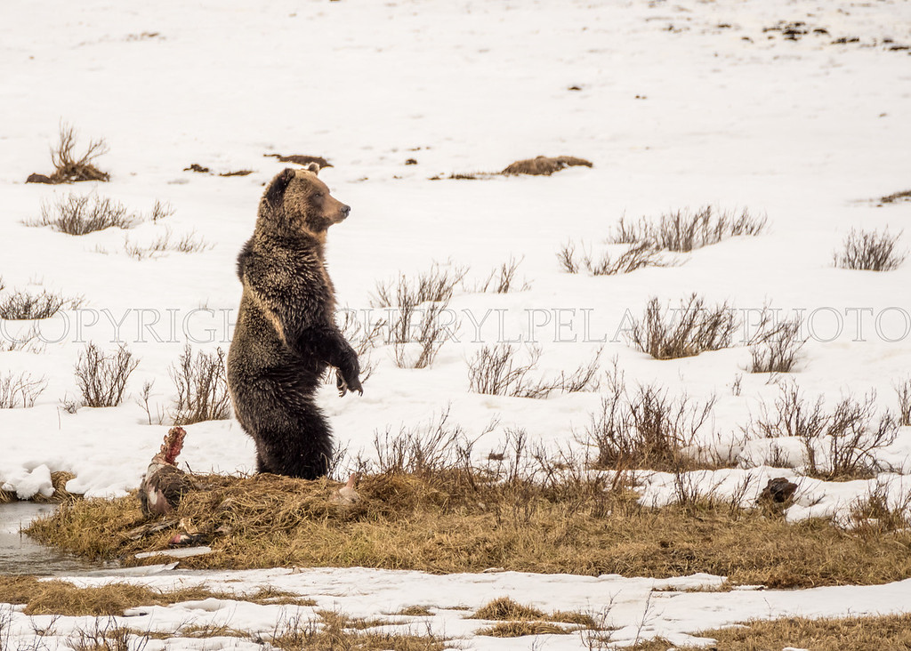 Grizzly On Guard
