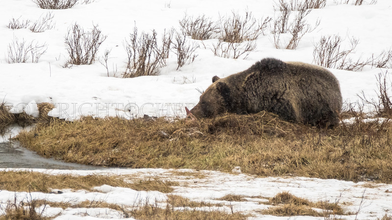 Grizzly Protecting His Meal