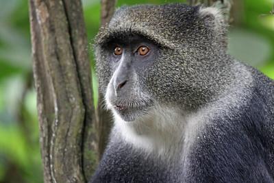 Arusha National Park - Blue Monkey