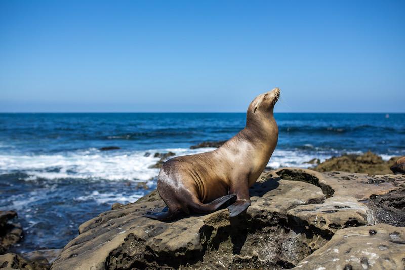 Sea Lion, La Jolla Beach, CA