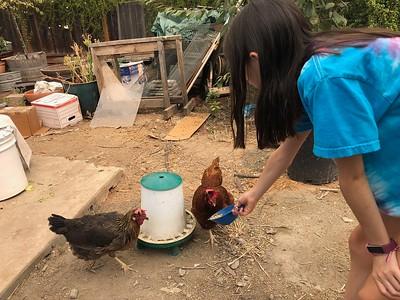 Chicken-Sitting