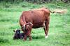 Cow Calf 4177