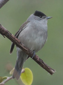 Blackcap, Azores (Madeira Wind Birds)