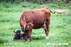 Cow Calf 4177l