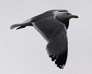 Atlantic Yellow-Legged Gull