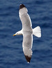 Azores (YL) Gull 2016-05-15 Sao Miguel DSC01188