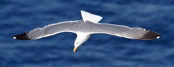 Azores (YL) Gull 2016-05-15 Sao Miguel DSC01134