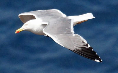 Azores (YL) Gull 2016-05-15 Sao Miguel DSC01146