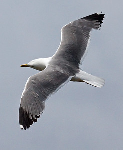 Azores (YL) Gull 2016-05-15 Sao Miguel DSC01152