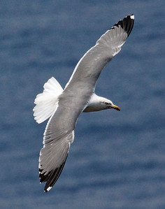Azores (YL) Gull 2016-05-15 Sao Miguel DSC01161