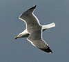 Azores (YL) Gull 2016-05-15 Sao Miguel DSC02324