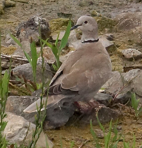 Eurasian Collared Dove 2016-05-21 Porto Santo DSC02048