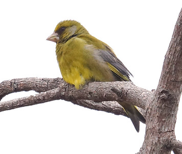 European Greenfinch 2016-05-20 Madeira DSC01649