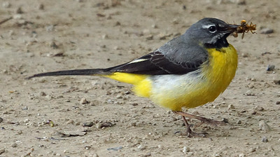 Gray Wagtail (Azores) 2016-05-15 Sao Miguel DSC01050