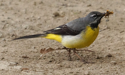 Gray Wagtail (Azores) 2016-05-15 Sao Miguel DSC01045