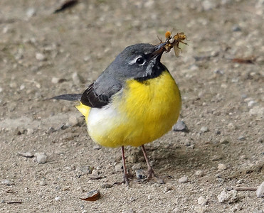 Gray Wagtails