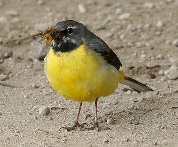 Gray Wagtail (Azores) 2016-05-15 Sao Miguel DSC01054