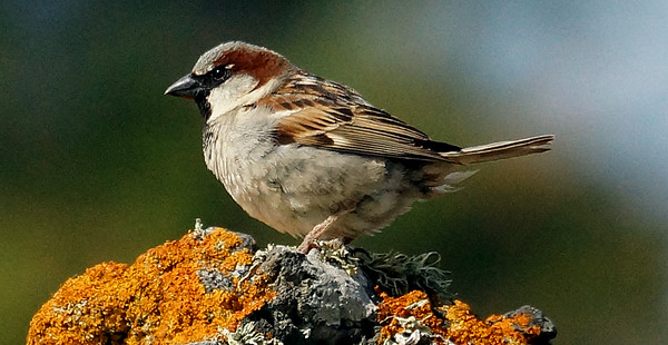 House Sparrow 2016-05-26 Graciosa DSC02309