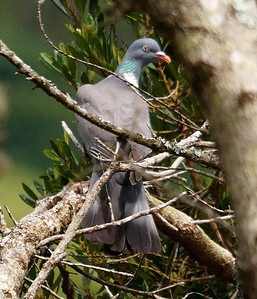 Common Wood Pigeon (Azores) 2016-05-25 Graciosa DSC01093