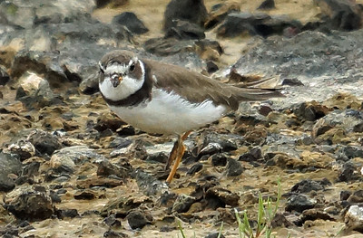 Semipalmated Plover 2016-05-28 Terceira DSC02545