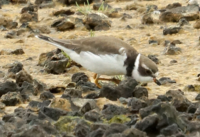 Semipalmated Plover 2016-05-28 Terceira DSC02551