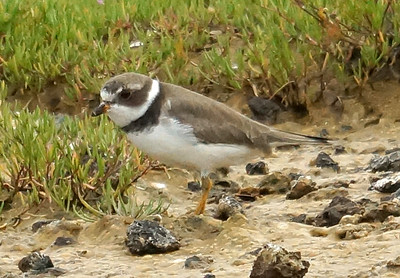 Semipalmated Plover 2016-05-28 Terceira DSC02526
