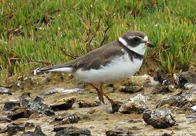 Semipalmated Plover 2016-05-28 Terceira DSC02531