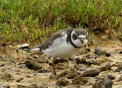 Semipalmated Plover 2015-05-28 Terceira DSC02533
