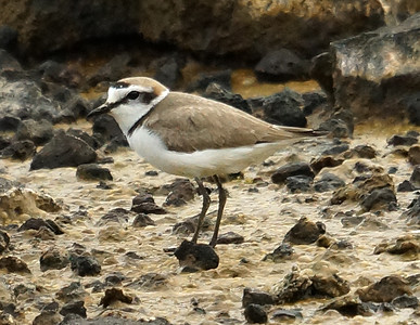 Kentish Plover 2016-05-28 Terceira DSC02518