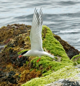 Common Tern 2016-05-27 Graciosa DSC02444