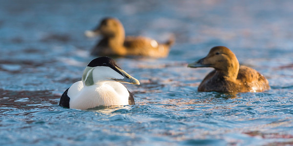 Eider Duck - Somateria mollissima - male and females - Varanger birding