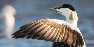 Eider Duck - Somateria mollissima - male - Varanger birding