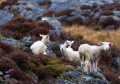 Sheeps at Bømlo
