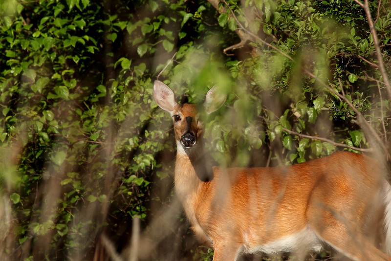 White-tailed Deer, Doe - II