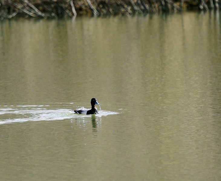 Ring-necked Duck-I