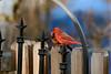Northern Cardinal-V