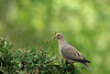 Mourning Dove-VII