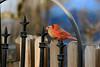 Northern Cardinal-IV