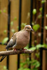 Mourning Dove-V