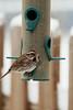Song Sparrow-IV
